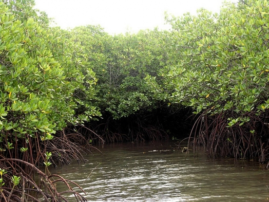 Mangroves: Their Benefits to People and the Environment