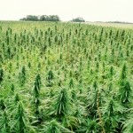 The Benefits of Marijuana Plantations