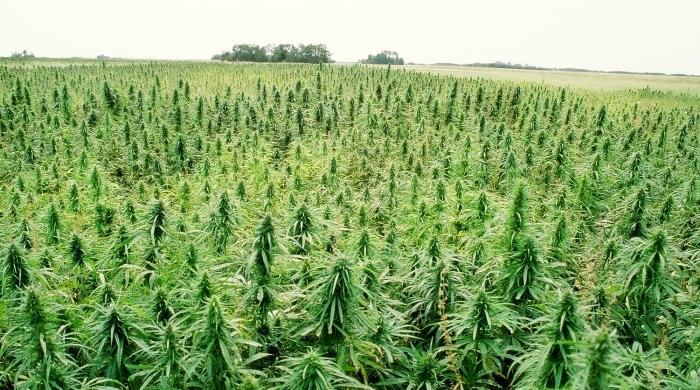 The Benefits of Marijuana Plantations